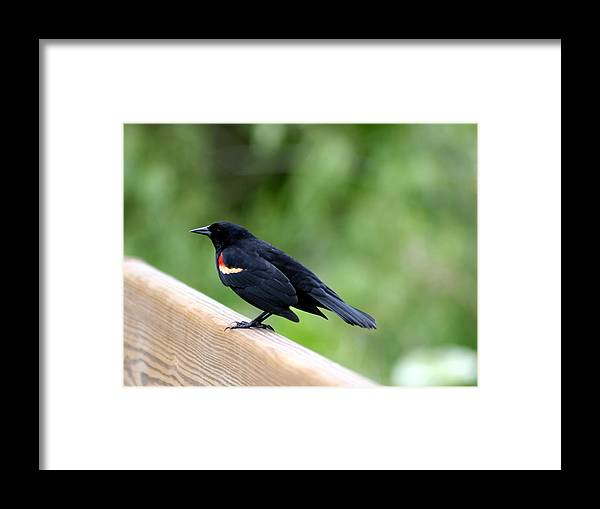 Bird Framed Print featuring the photograph Male Red-winged Blackbird by April Wietrecki Green