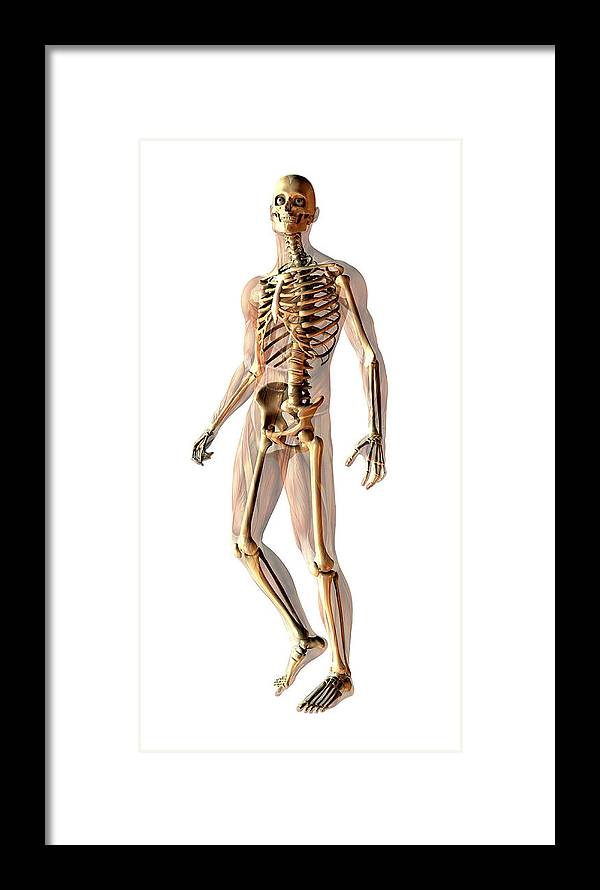 Skeleton Framed Print featuring the photograph Male Skeleton by Friedrich Saurer