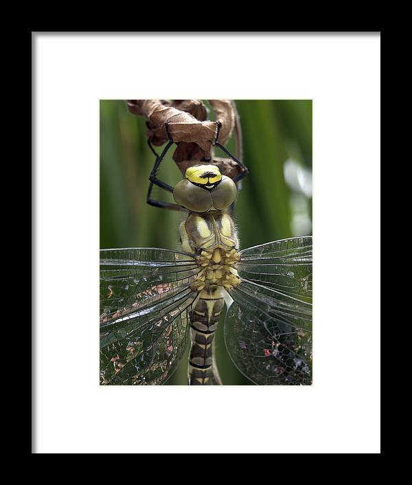 Aeshna Cyanea Framed Print featuring the photograph Male Southern Hawker Dragonfly by Dr Jeremy Burgess