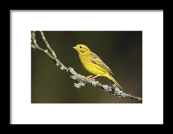 Yellowhammer Framed Print featuring the photograph Male Yellowhammer by Colin Varndell