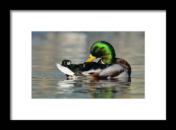 Mp Framed Print featuring the photograph Mallard Anas Platyrhynchos Male by Jasper Doest