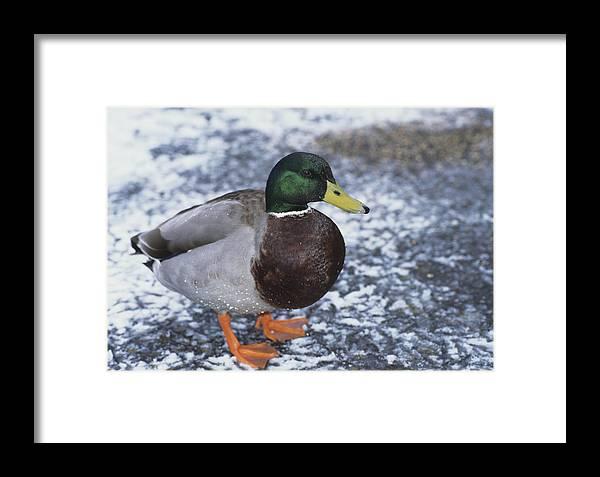 Anas Platyrhynchos Framed Print featuring the photograph Mallard Duck by David Aubrey