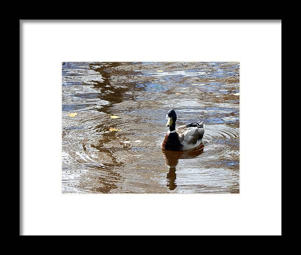 Duck Framed Print featuring the photograph Mallard Duck by Travis Abe-Thomas