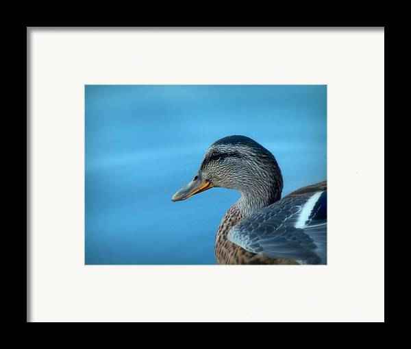 Cindy Framed Print featuring the photograph Mallard Hen Closeup by Cindy Wright