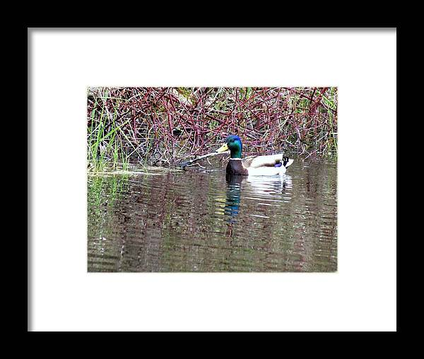 Duck Framed Print featuring the photograph Mallard On A Pond by Don Downer