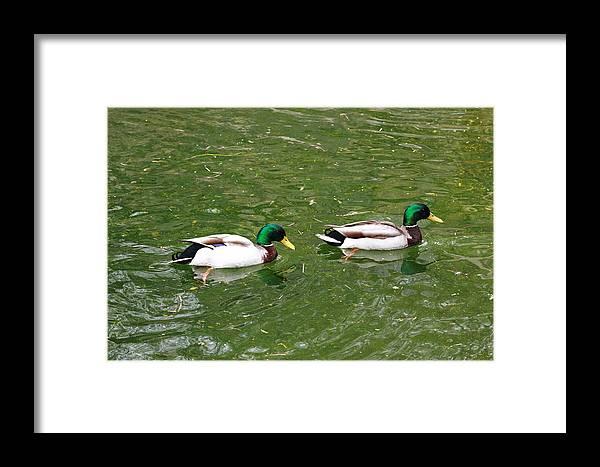 Bird Framed Print featuring the photograph Mallards by Paul Slebodnick