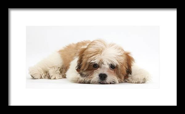 Maltese Shih Tzu Mix Puppy Lying Down Framed Print By Mark Taylor