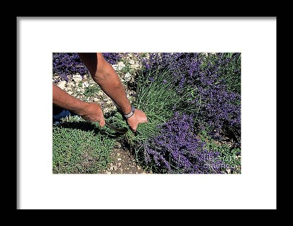 People Framed Print featuring the photograph Man Harvesting Lavender Flowers In Field by Sami Sarkis