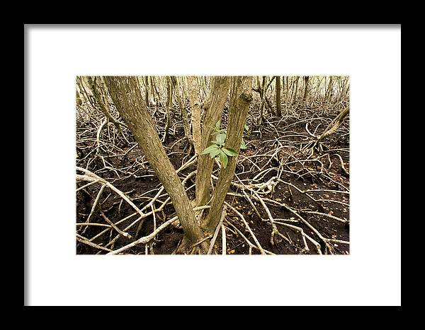 Nobody Framed Print featuring the photograph Mangrove Forest With Red Mangrove by Tim Laman