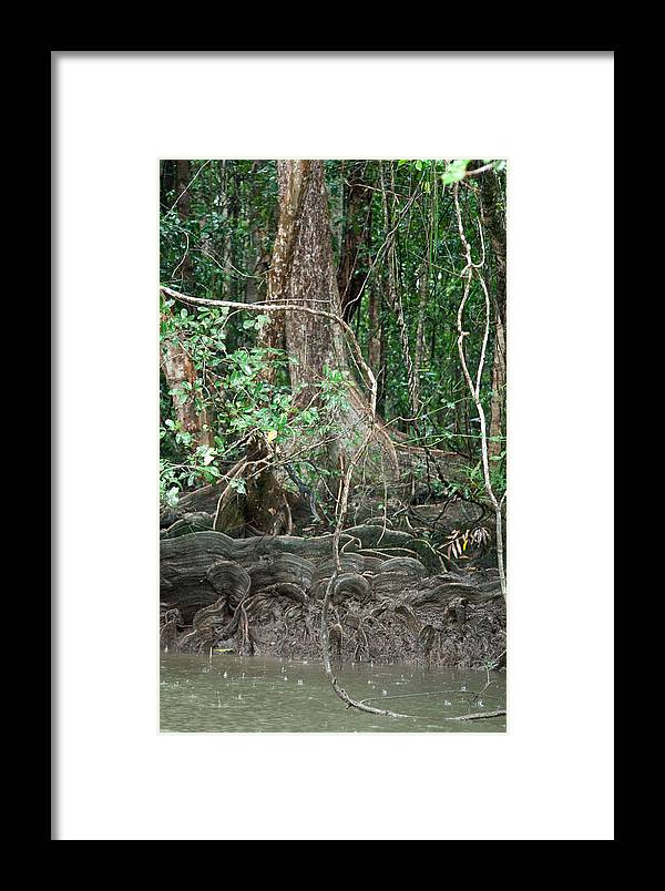 Tree Framed Print featuring the photograph Mangroves by Carole Hinding