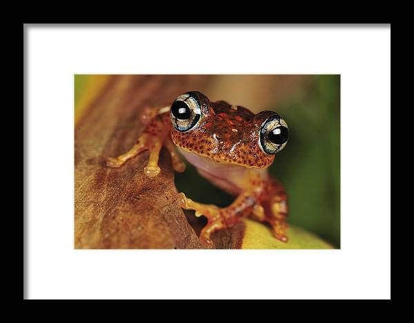 Mp Framed Print featuring the photograph Mantellid Frog Boophis Tephraeomystax by Thomas Marent