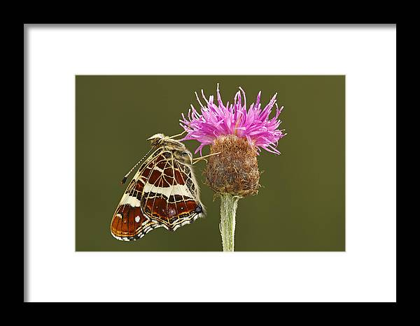 Fn Framed Print featuring the photograph Map Butterfly Araschnia Levana by Silvia Reiche