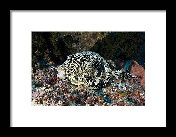 Arothron Mappa Framed Print featuring the photograph Map Pufferfish by Matthew Oldfield