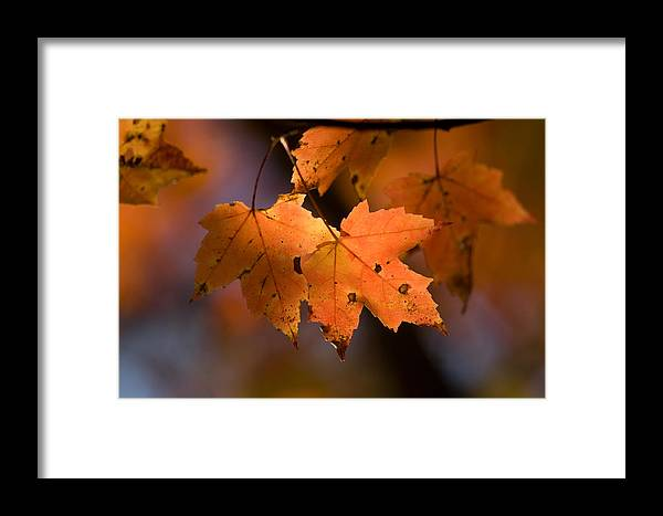 Nobody Framed Print featuring the photograph Maple Leaves In The Fall In Middlebury by Joel Sartore
