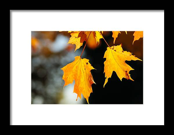 Fall Framed Print featuring the photograph Maple Leaves by Kenneth Sponsler