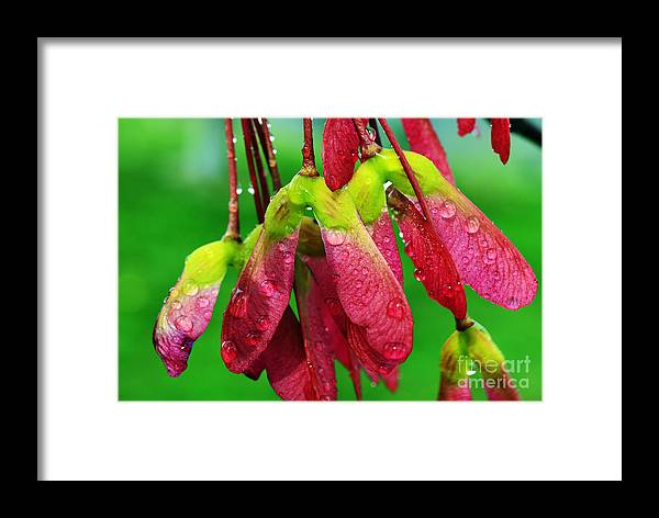 Sugar Maple Framed Print featuring the photograph Maple Seeds In The Rain by Thomas R Fletcher