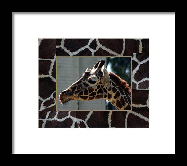Animals Framed Print featuring the photograph Matted Giraffe by Tony and Kristi Middleton