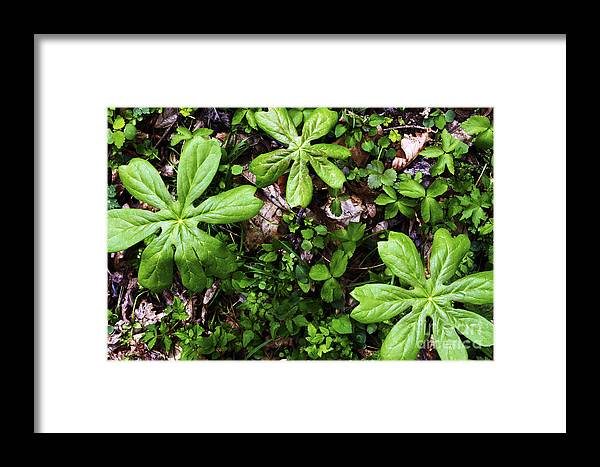Mayapple Framed Print featuring the photograph Mayapples In Forest by Thomas R Fletcher