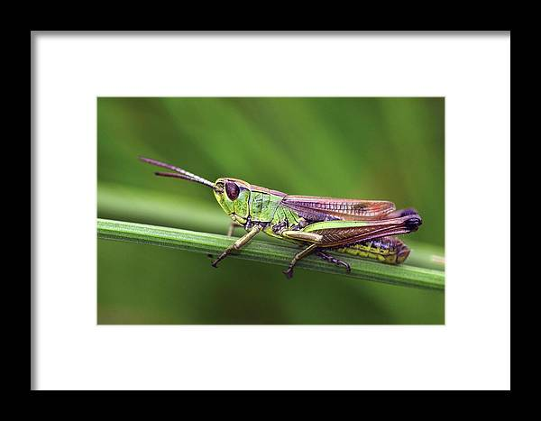 Chorthippus Parallelus Framed Print featuring the photograph Meadow Grasshopper by Colin Varndell