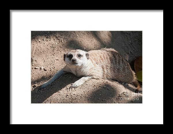 Animals Framed Print featuring the digital art Meerkat by Carol Ailles