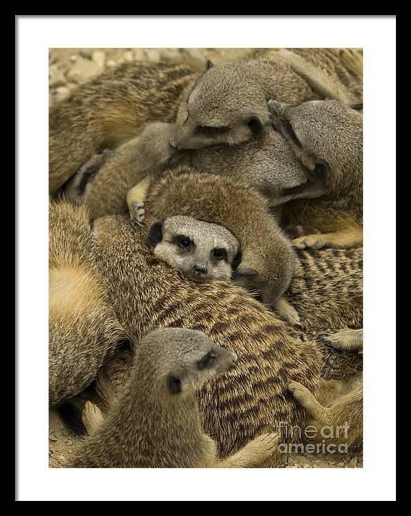 Meerkat Framed Print featuring the photograph Meerkat family by Steev Stamford