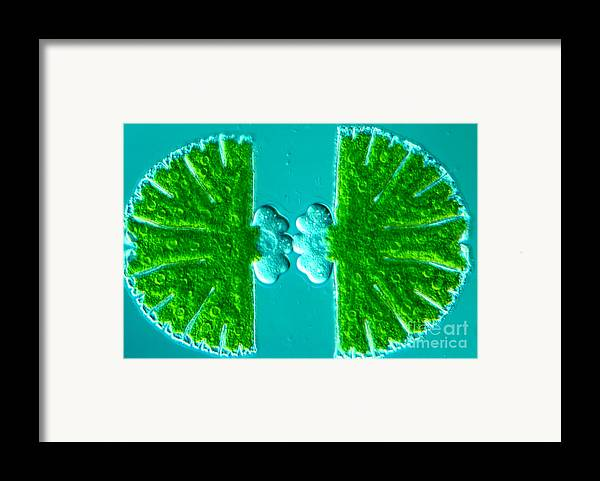 Algae Framed Print featuring the photograph Micrasterias Sp by M. I. Walker