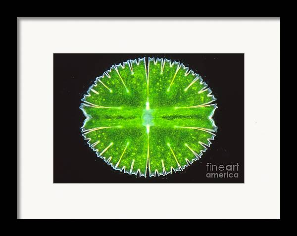 Light Microscopy Framed Print featuring the photograph Micrasterias Truncata by M. I. Walker