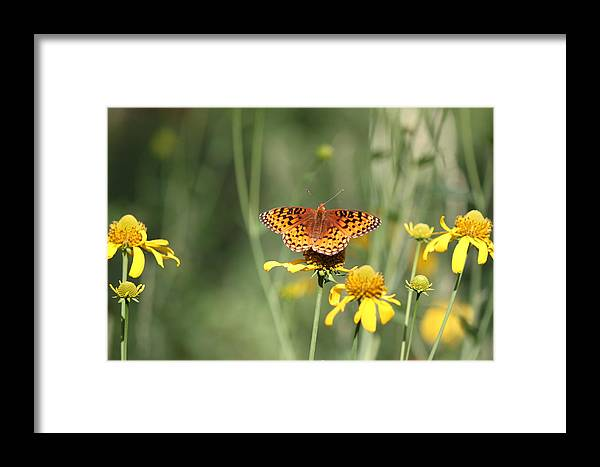 Butterfly Framed Print featuring the photograph Migrating Butterfly Ser2 by Amara Roberts