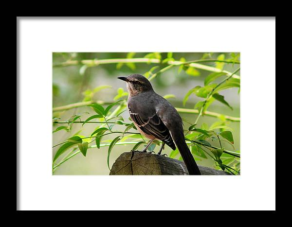 Bird Photograph Framed Print featuring the photograph Mocking Bird Picture 3 by Ester Rogers