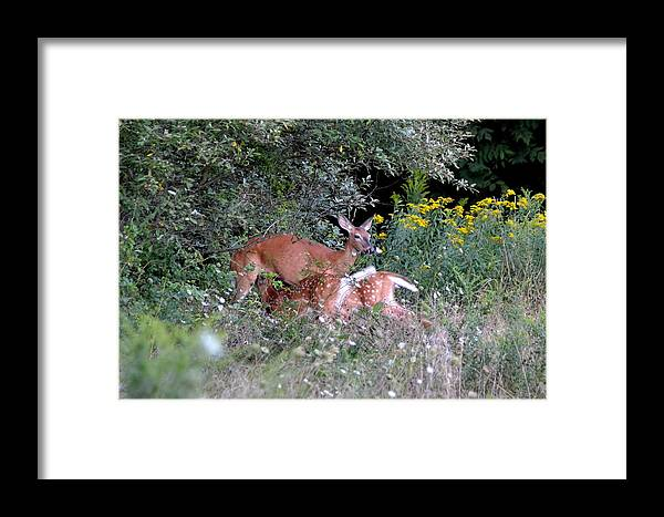 Deer Framed Print featuring the photograph Mom And Babies by Lisa Jaworski