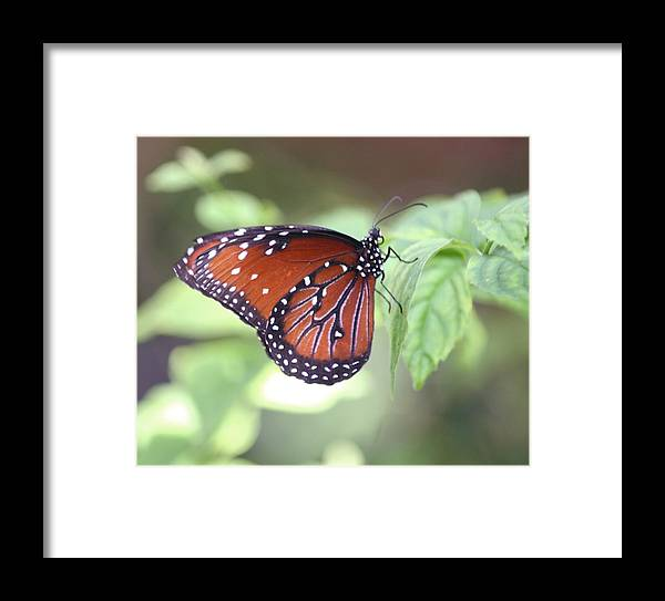 Monarch Butterfly Framed Print featuring the photograph Monarch Butterfly by Andrea OConnell