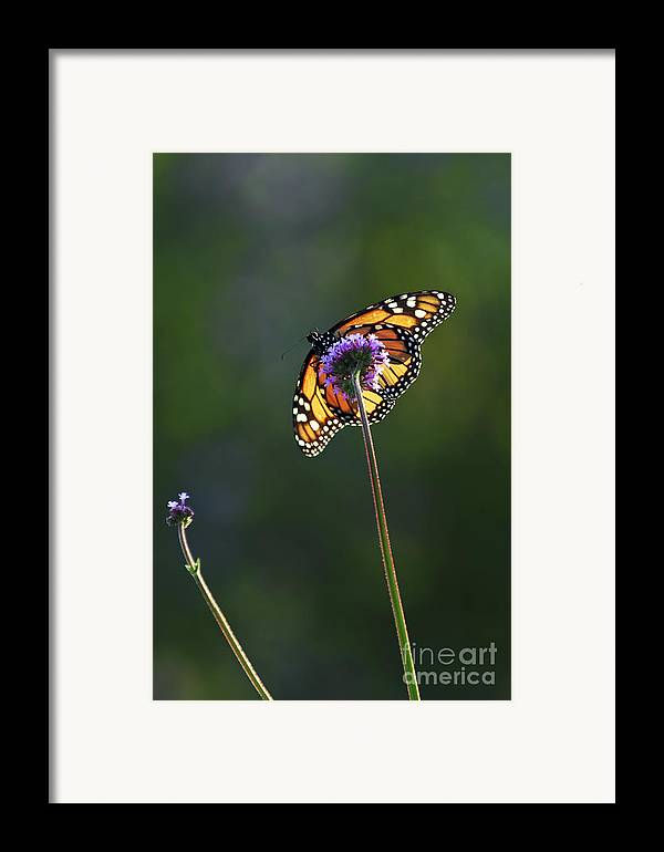 Butterfly Framed Print featuring the photograph Monarch Butterfly by Elena Elisseeva