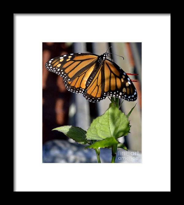 Animal Framed Print featuring the photograph Monarch Butterfly by Eva Thomas