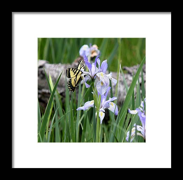 Monarch Butterfly Framed Print featuring the photograph Butterfly On Iris by Amara Roberts