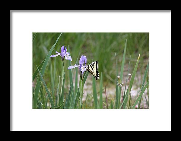 Monarch Butterfly Framed Print featuring the photograph Monarch Butterfly On Iris Ser2 by Amara Roberts