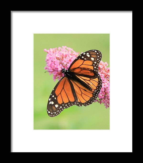 Monarch Butterfly Framed Print featuring the photograph Monarch On Blossoms by Don Downer