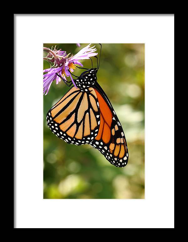 Butterfly Framed Print featuring the photograph Monarch Rest by Paul Slebodnick