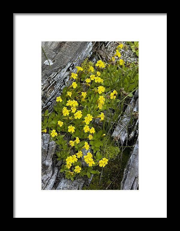 Primrose Monkey-flower Framed Print featuring the photograph Monkey-flower (mimulus Primuloides) by Bob Gibbons