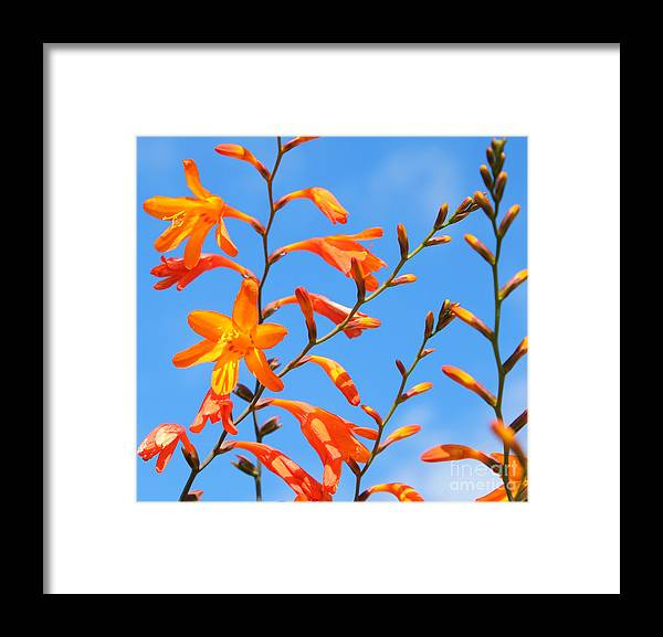 Crocosmia Framed Print featuring the photograph Montbretia And Blue Skies by Susan Wall