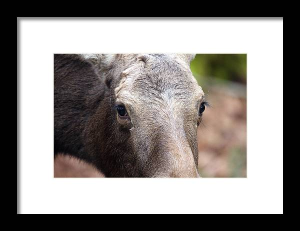 Northwest Trek Framed Print featuring the photograph Moose - 0004 by S and S Photo