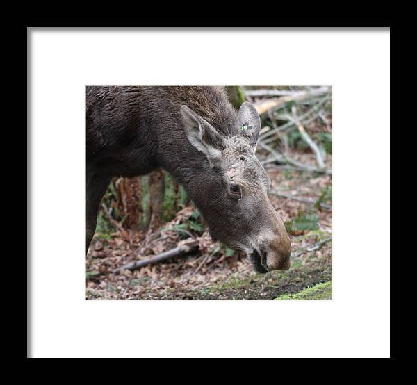Northwest Trek Framed Print featuring the photograph Moose - 0007 by S and S Photo