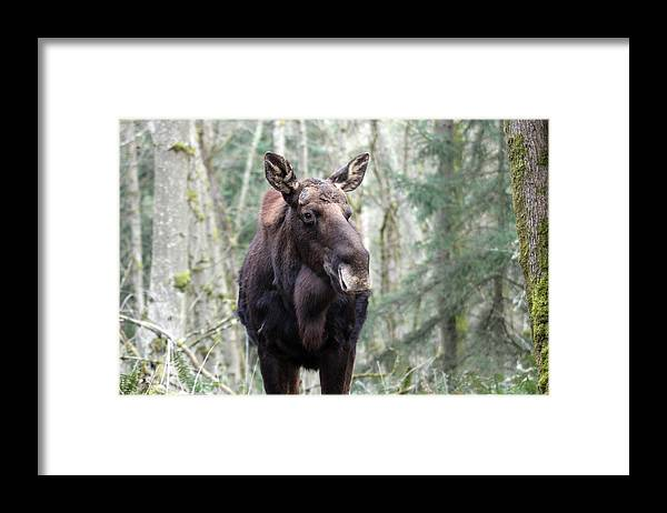 Northwest Trek Framed Print featuring the photograph Moose - 0009 by S and S Photo