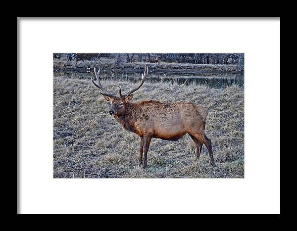 Moose Framed Print featuring the photograph Moose 2 by Brenda Becker