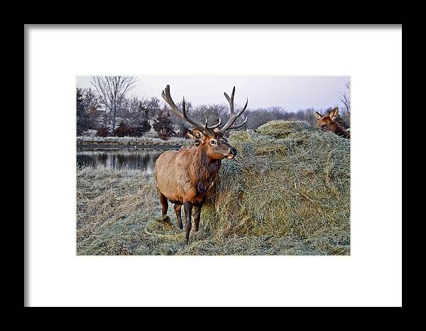 Moose Framed Print featuring the photograph Moose by Brenda Becker