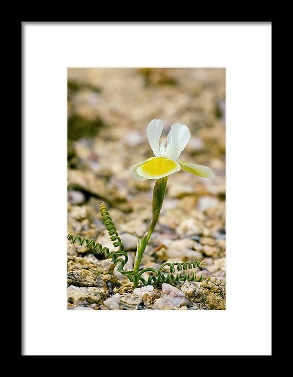 Moraea Serpentina Framed Print featuring the photograph Moraea Serpentina by Bob Gibbons