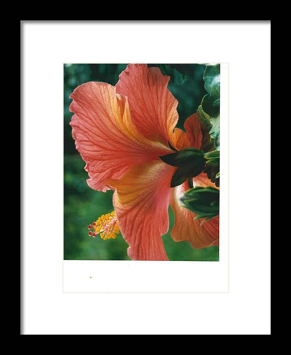 Flowers Framed Print featuring the photograph Morning Light Through A Hibiscus by Kathy Budd