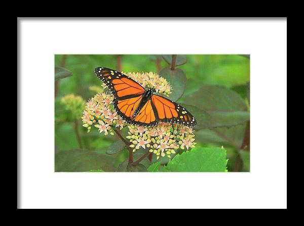 Monarch Butterfly Framed Print featuring the photograph Morning Monarch by Don Downer