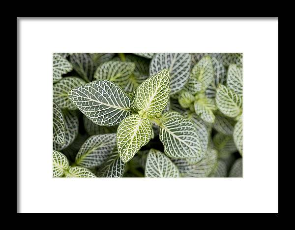 Mosaic Plant Framed Print featuring the photograph Mosaic Plant (fittonia Albivenis) Leaves by Jon Stokes