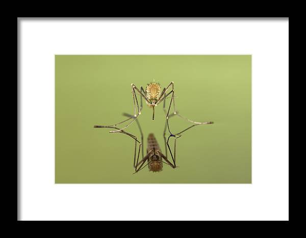 Mp Framed Print featuring the photograph Mosquito Culicidae Freshly Hatched by Ingo Arndt