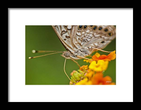 Nature Framed Print featuring the photograph Moth On Flower Clusters by Lisa Spencer